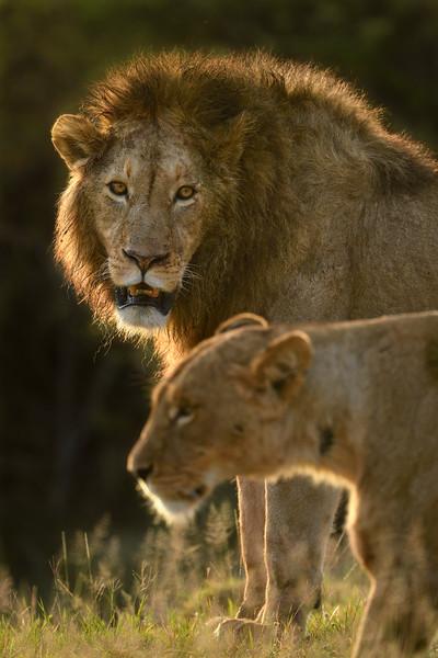 Love-mood-lion-lioness-Ngorongoro.jpg