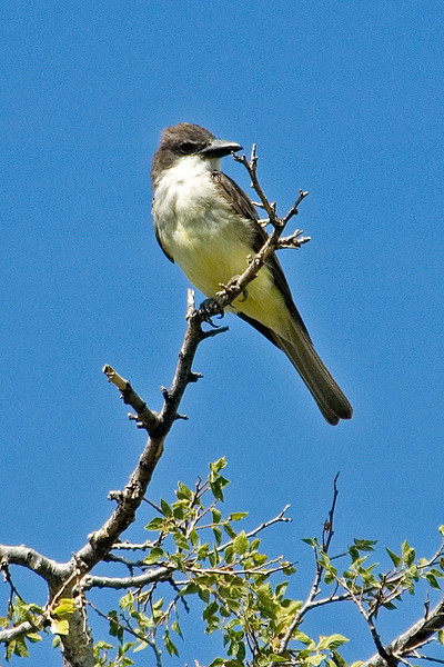 Kingbird - Thick-billed - Buenes Aires NWR - AZ