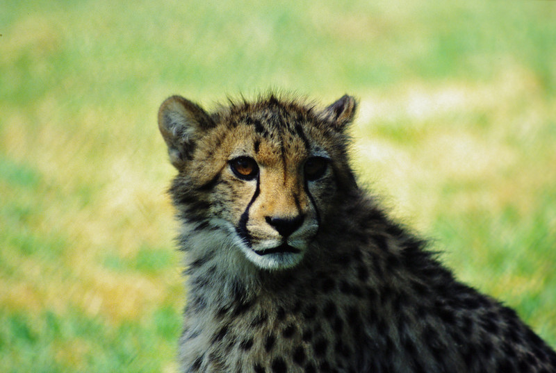 Cheetah cub, Wild Animal Park, Escondido, California.