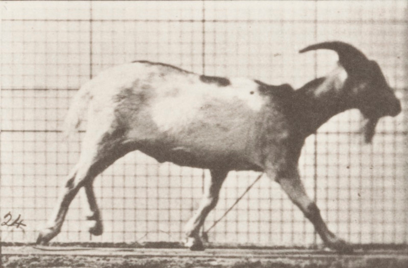 Goat galloping