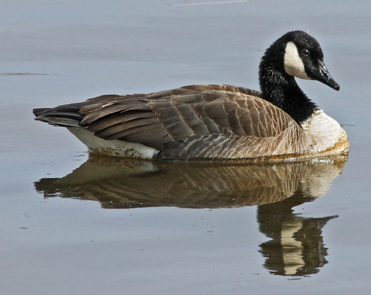 canadian goose 2.jpg