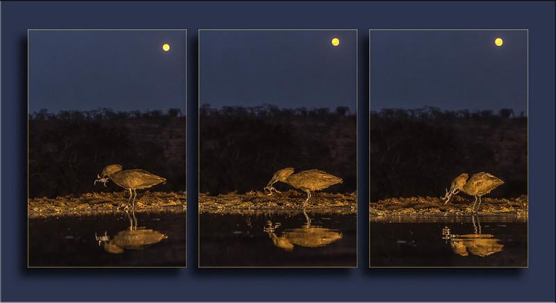 Triptych Hammerkop trial 2 enlarge.jpg