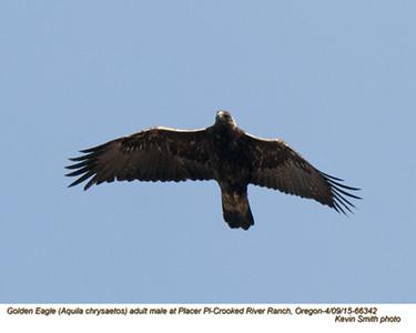 Golden Eagle M 66342.jpg