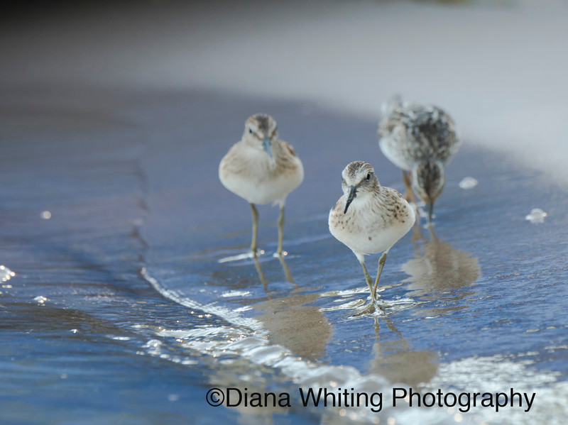 Least Sandpipers Fall Migration