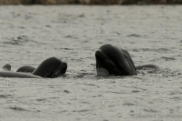 pilot whales shetland