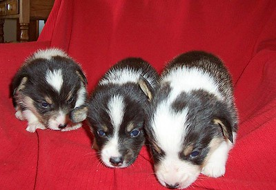 Sharon's Puppies