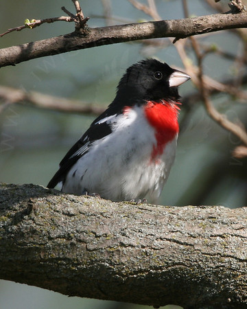 Grosbeak, Rose-Breasted