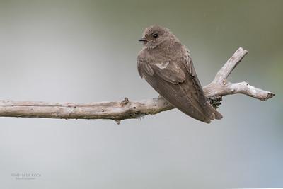 Brown-throated Martin (Riparia paludicola)