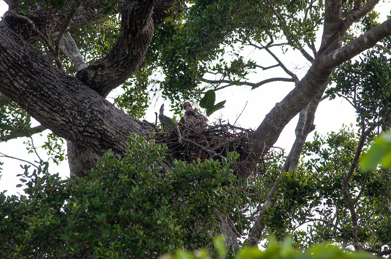 Baby eagle at Hurulu Eco Park