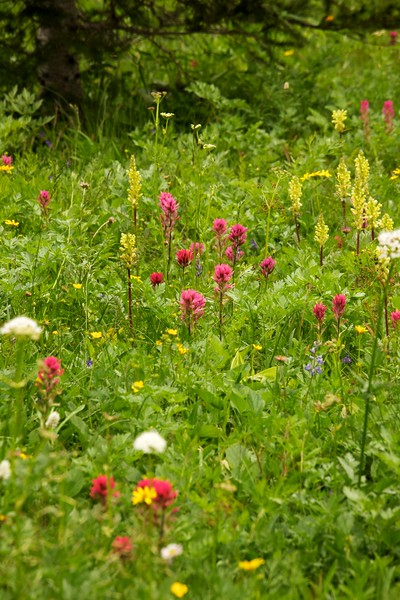 Magenta and scarlet paintbrush, bracted lousewort and other wildflowers. Sunrise Meadow. Mt. Rainier National Park.