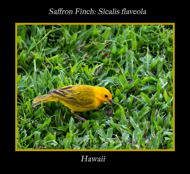 SaffronFinch_Hawaii_664A0940.jpg