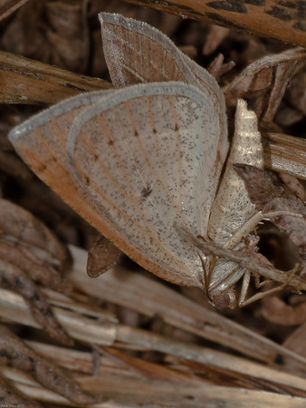 Brown Silver-line (Petrophora chlorosata)