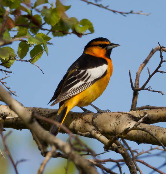 Bullock`s Oriole  Crowley Lakes 2013 05 21 (2 of 2).CR2 (1 of 1).CR2