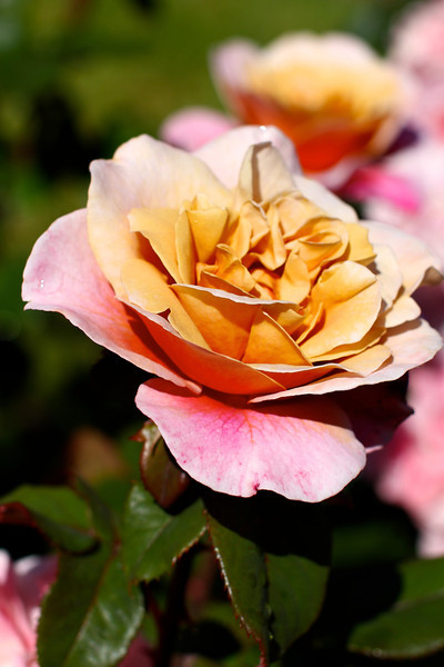 Portland International Rose Test Garden  2212.jpg