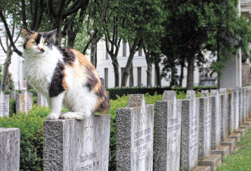 Wildlife 2011-06-05  Vienna's central cemetery is teeming with life - foxes, bats, cats, deer.  This wild cat is perched on top of the graves of Soviet soldiers who fell in the street battle for Vienna in 1945.  I appreciate your kind comments on yesterday's angel shot.  Enjoy the day