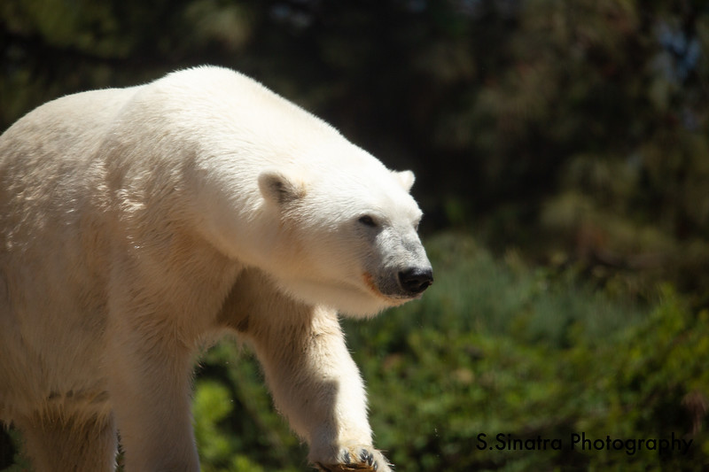 polar bear (42 of 50).jpg