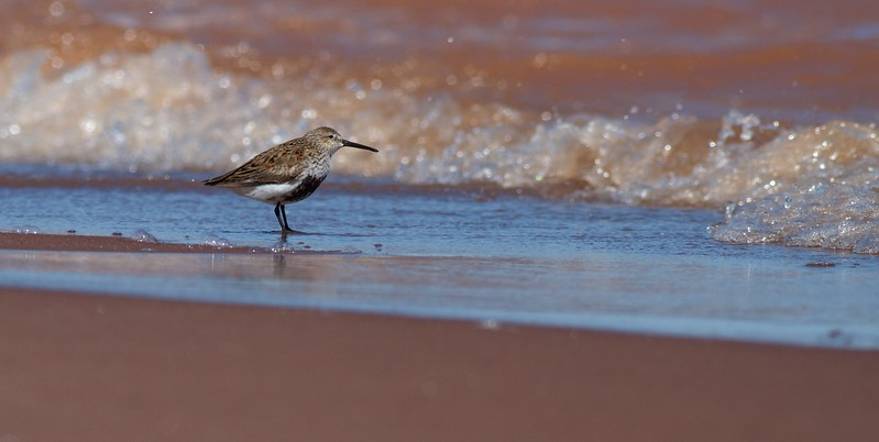 Dunlin Wisconsin Point Superior WI IMG_1292.jpg