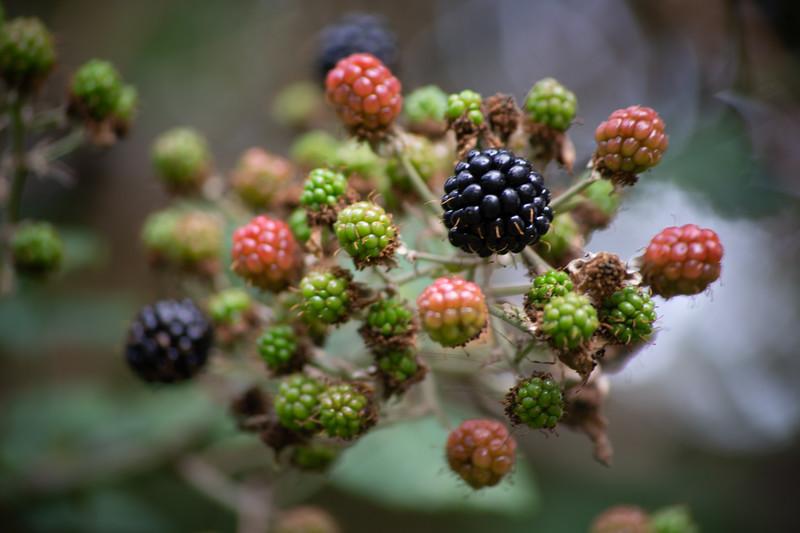Blackberries will do!.jpg