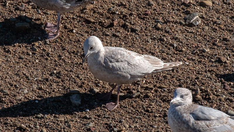 """""""Kumlien's"""" Iceland Gull - 1st year"""