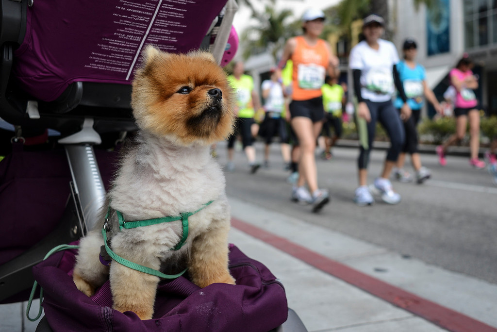 ". ""Charlie\"" takes in the action as runners head down Rodeo Drive in Beverly Hills during the 28th Los Angeles Marathon.  Photo by David Crane/Staff Photographer"