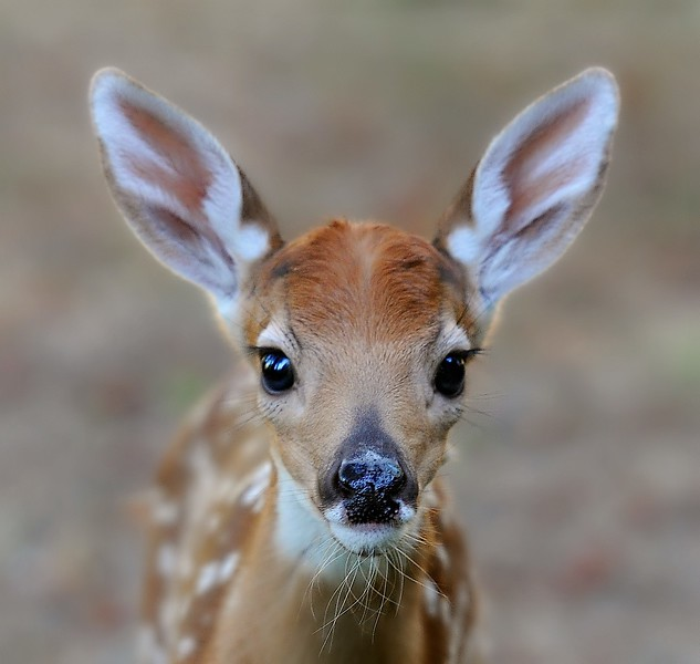 Fawn Face