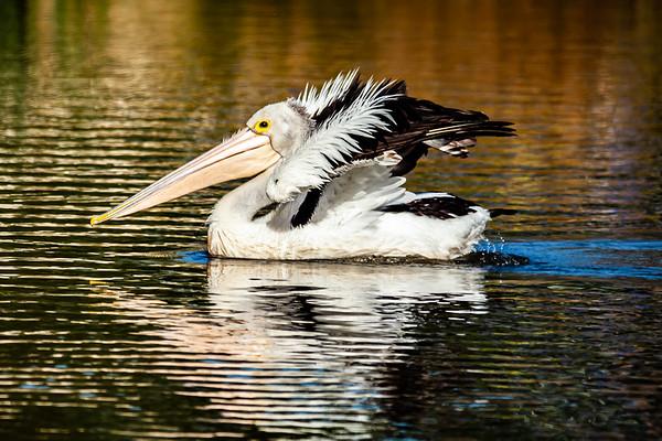 Pelican Drouin