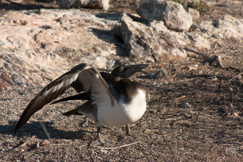 Stretching Nazca Booby : Journey into Genovesa Island in the Galapagos Archipelago