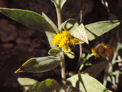 Goldenrod (Solidago velutina)