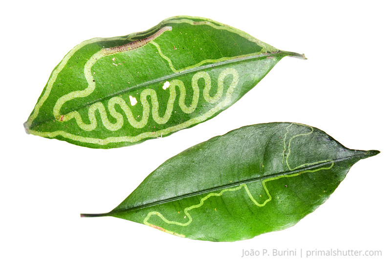 Leaf mining larva patterns on a leaf Piedade, São Paulo, Brazil Atlantic forest (rainforest strictu sensu) August 2012