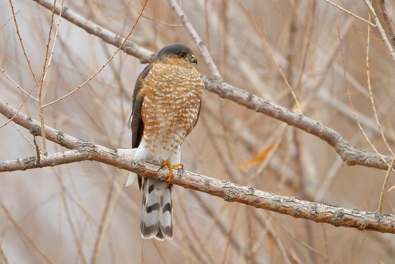 Sharp-shinned Hawk, Bosque del Apache NWR, New Mexico