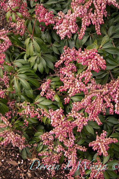 4947 Pieris japonica 'Shy' Impish Elf_0959.jpg