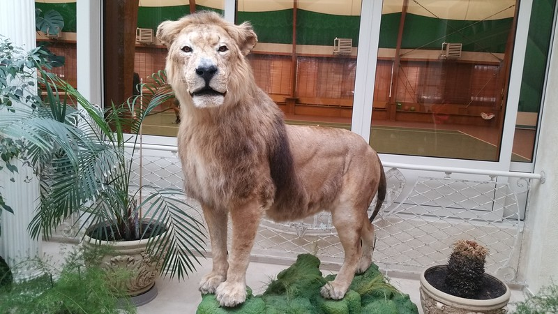 Meet one rather stuffed Lion.