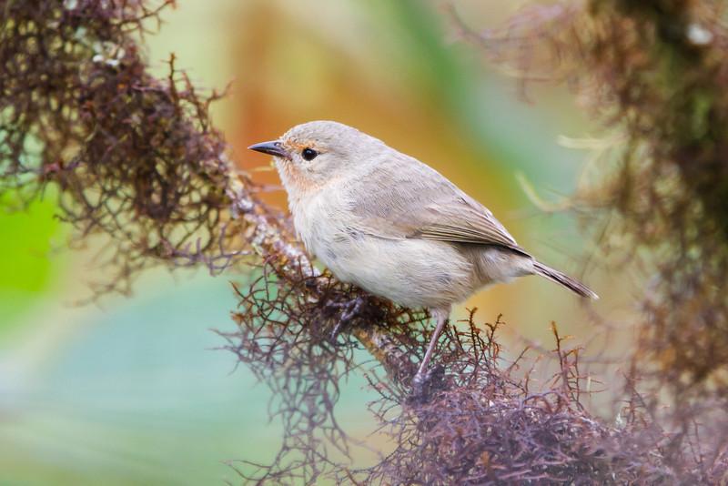Green Warbler-Finch at Santa Cruz, Galapagos, Ecuador (11-20-2011) - 585.jpg