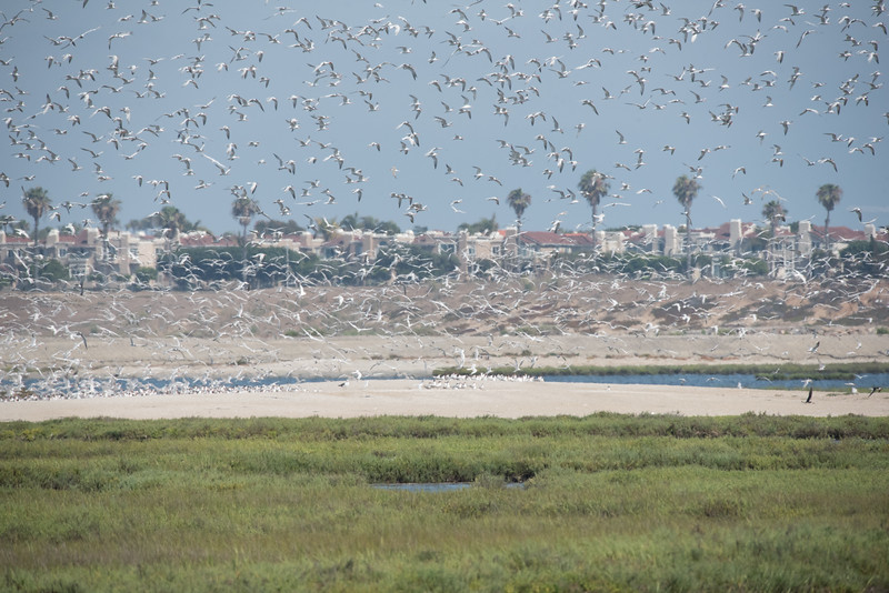 Elegant Terns put to flight over Tern Island by some disturbance.
