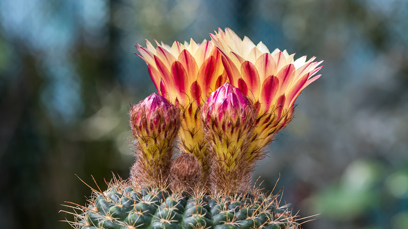 Notocactus amiguetii
