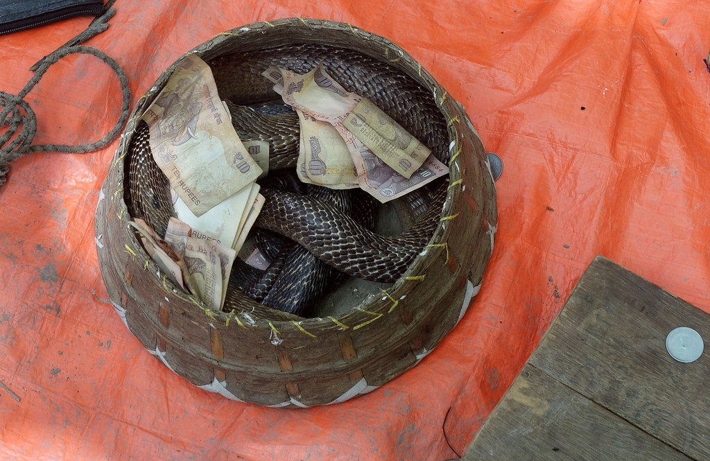 . An Indian snake charmer displays a \'gokhra\' - cobra - in a basket for passers by at a snake fair at Purba Bishnupur village, around 85 kms north of Kolkata on August 17, 2013. Hundreds of people queued in a remote village in eastern India over the weekend to receive blessings from meters-long and potentially deadly snakes, thought to bring them good luck.   DIBYANGSHU SARKAR/AFP/Getty Images