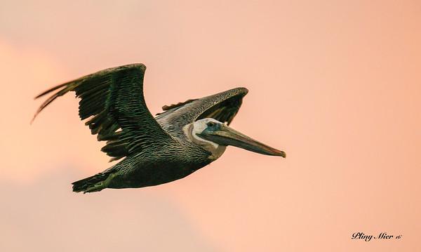 Brown Pelican_DWL6358.jpg