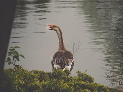 Ducks + Geese
