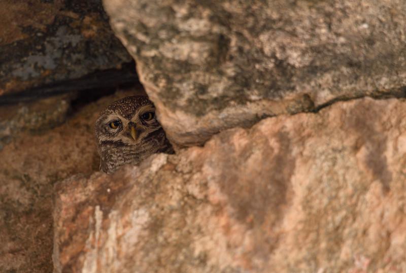 Spotted-owlet-hampi.jpg