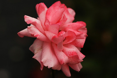 roses & more III