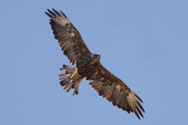 Swainson's Hawk dark morph first summer (2) at Firebaugh, CA (07-18-2009)