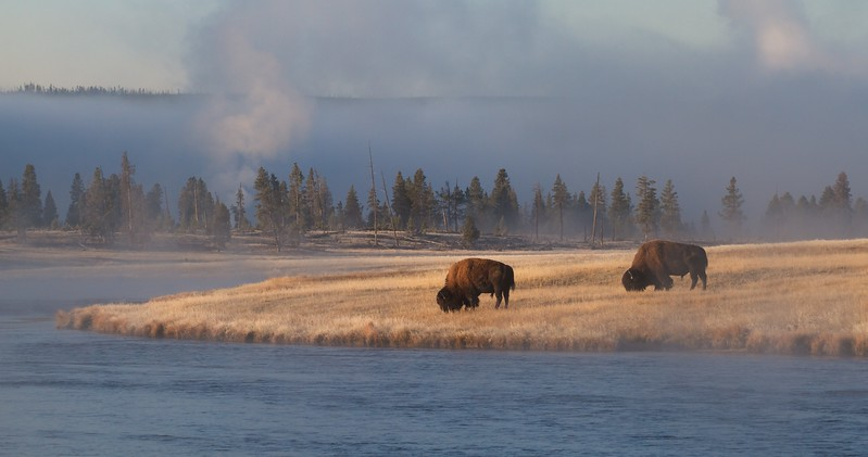 Bison Yellowstone N.P. WY IMG_0068192.jpg