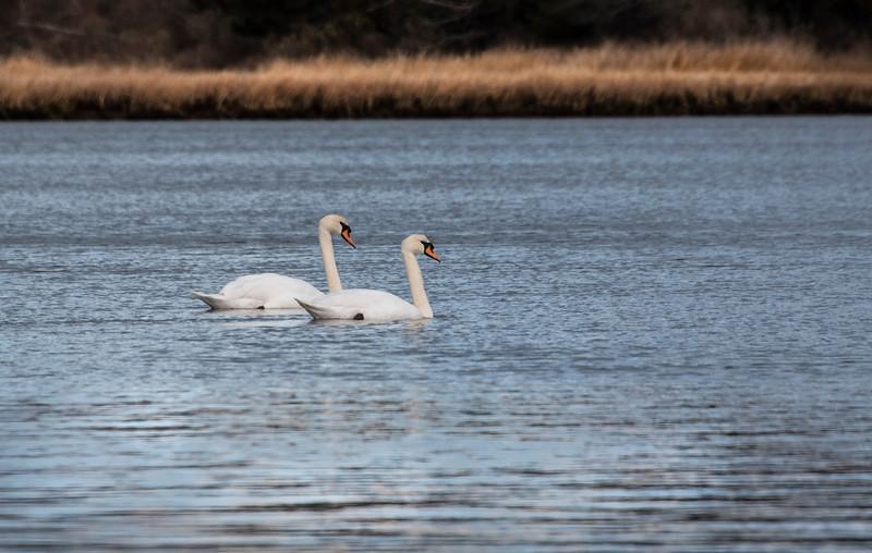 A couple Swans.jpg