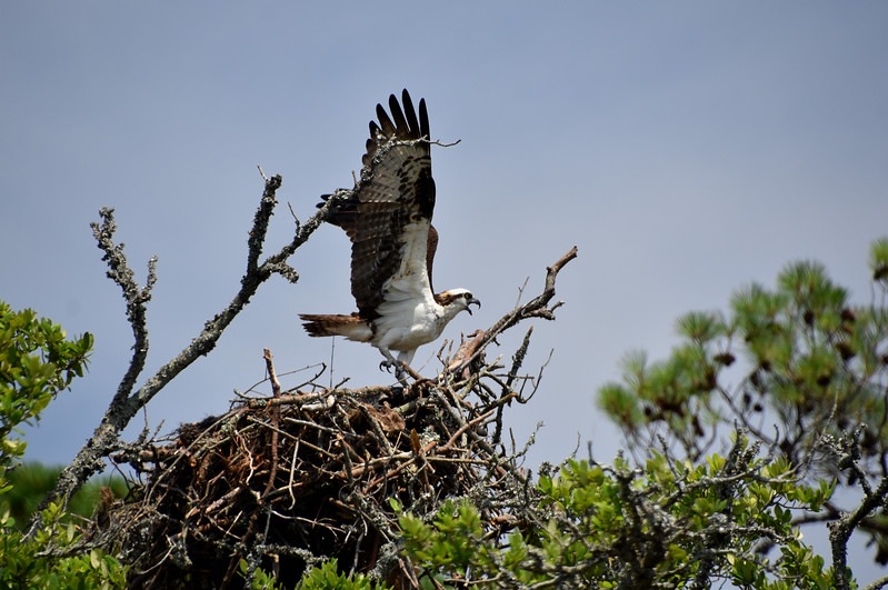 Osprey3-North-Carolina-Outer-banks.jpg