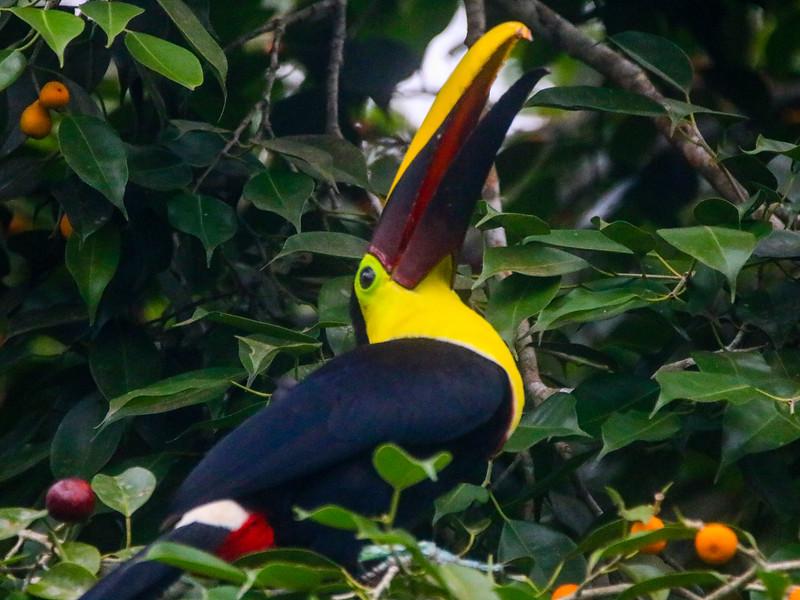 Bird of paradise toucan