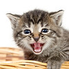 Cute kitten crying