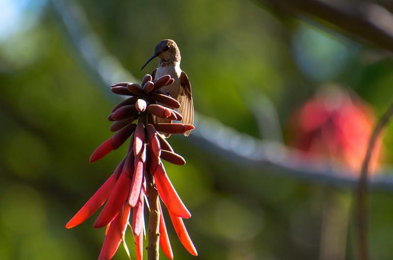 Hummingbird enjoys a perch at the Huntington Gardens in San Marino, CA.