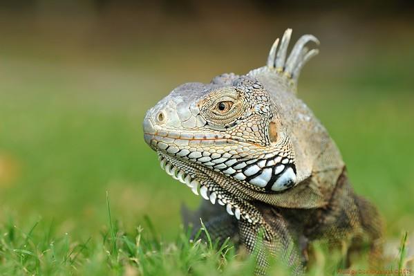 Iguana's