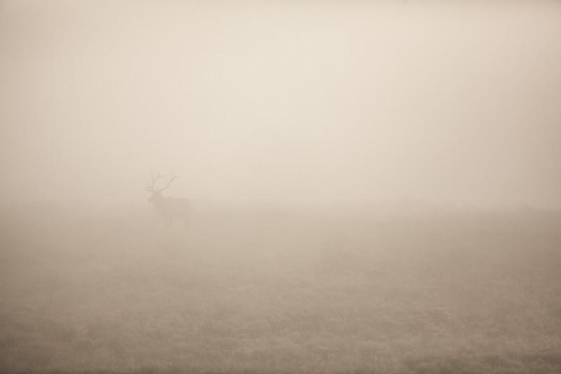 Bull Elk in the Mist. Grand Teton National Park. 2016