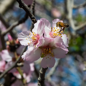 Almond flowers and the Bee